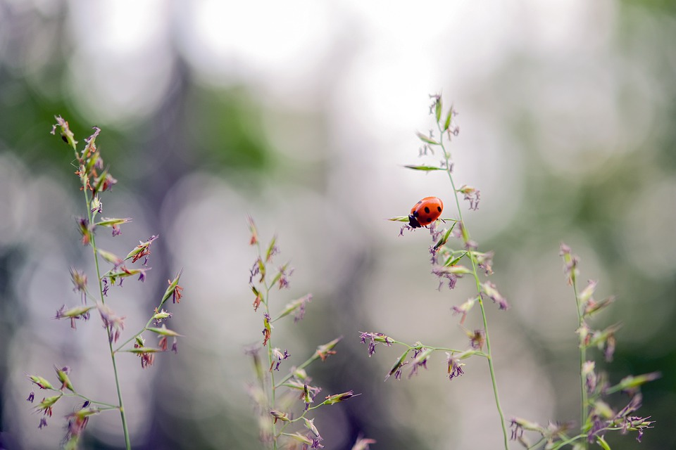 Ladybug, Beetle, Lucky Charm, Red, Insect, Spotted