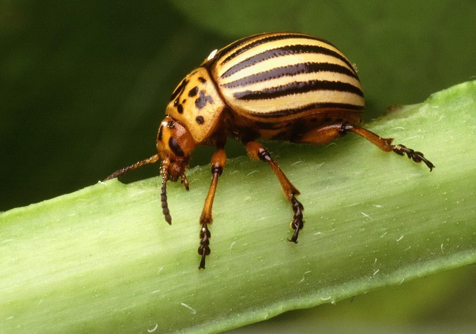 Insect, Decemlineata, Leptinotarsa, Beetle, Potato
