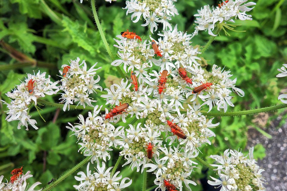 Insect, Beetle, Red Soldier Beetle, Mating