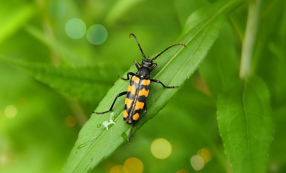 Insect, Beetle, Longhorn, Six-spotted Flower Strangalia