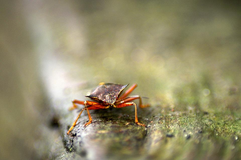 Red Legged Tree Bug, Pentatoma Rufipes, Insect, Beetle