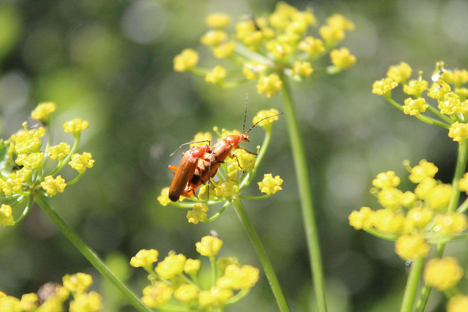 Beetle, Red Yellow Weichkäfer, Soldier Beetle, Insect