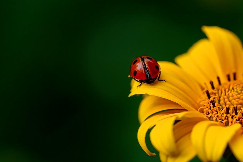 Ladybug, Insect, Beetle, Nature, Spring, Sunflower