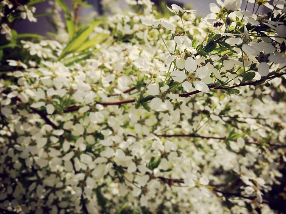 Bush, Flowers, White, Beetle, Ladybug, Spring, Nature
