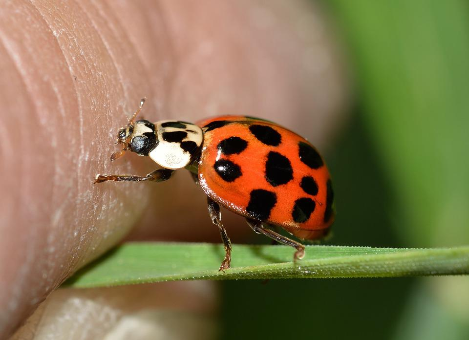 Insects, Beetles, Hippodamia