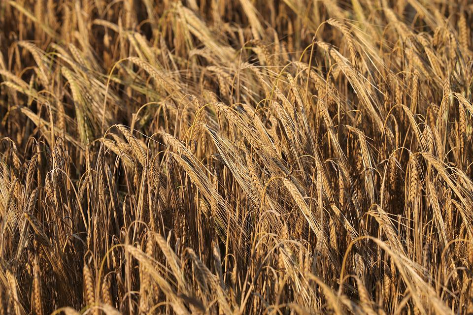 Barley, Before Harvest, Agriculture, Field, Rural, Food