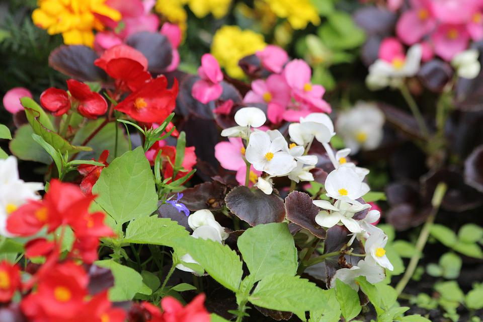Begonia, Flowers, Begonia Vale Of Eternal Blossoms