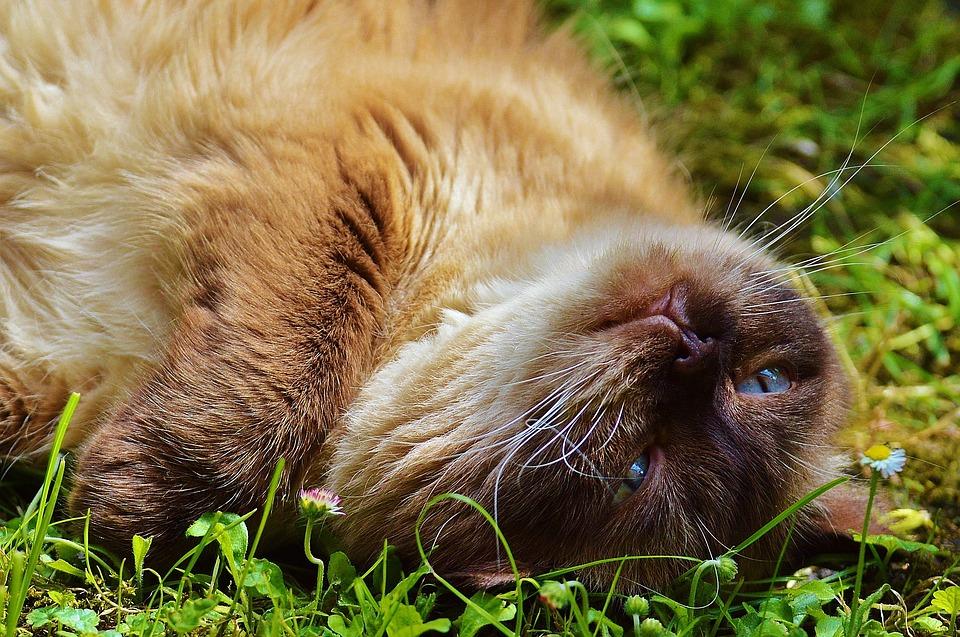 Cat, British Shorthair, Fur, Brown, Beige, Cute, Sweet