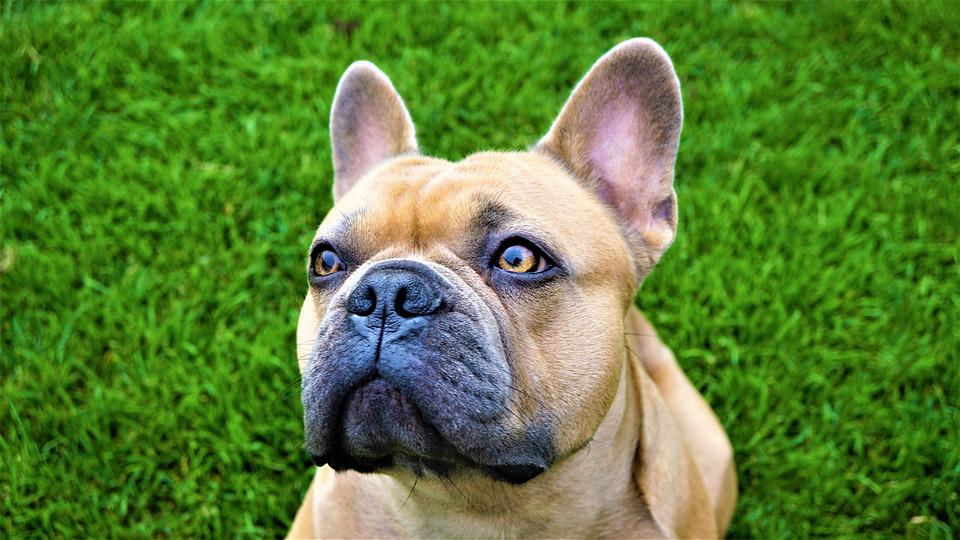 Background, French Bulldog, Eyes, View, Green, Beige