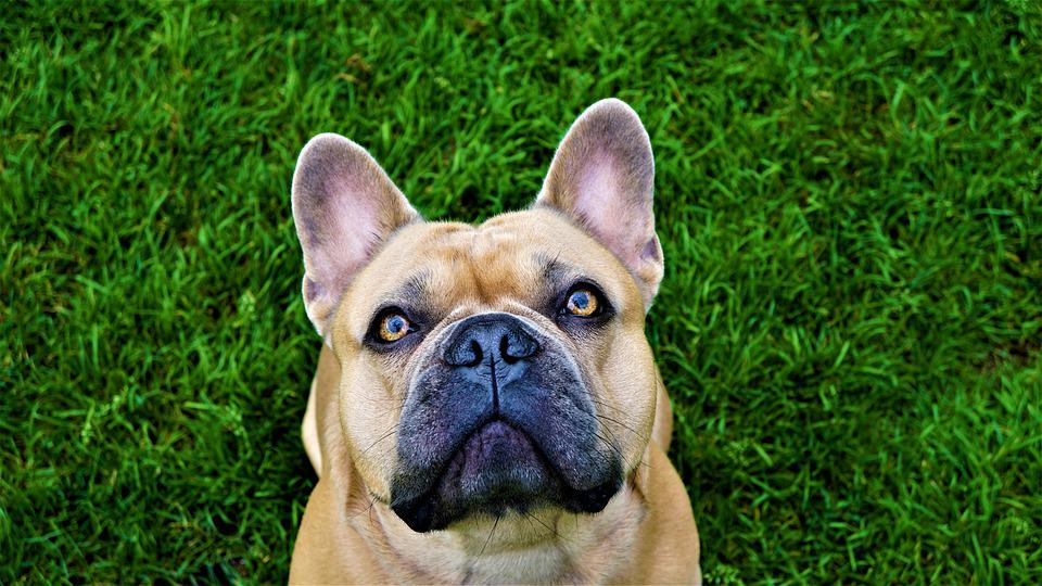 Background, French Bulldog, Grass, Green, Beige, Dog