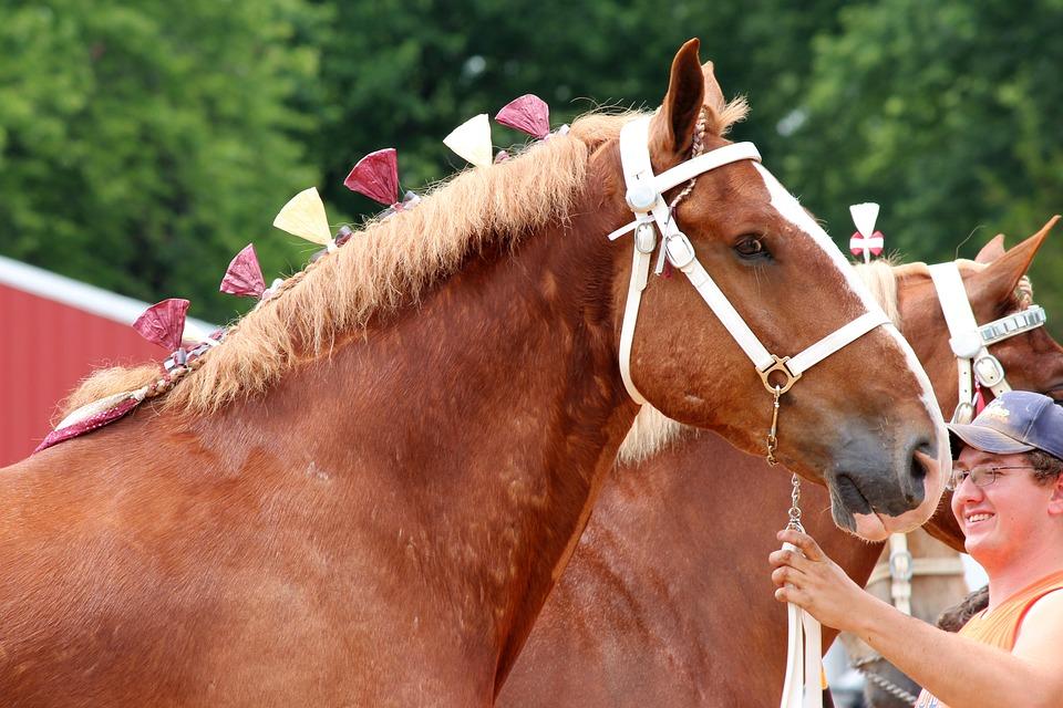 Draft, Horse, Belgian, Animal, Mane, Equine, Workhorse
