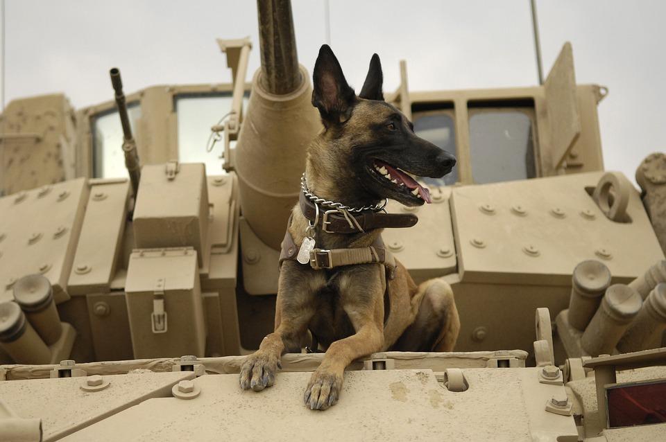 Dog, Tank, Army, Malinois, Belgian Shepherd Dog