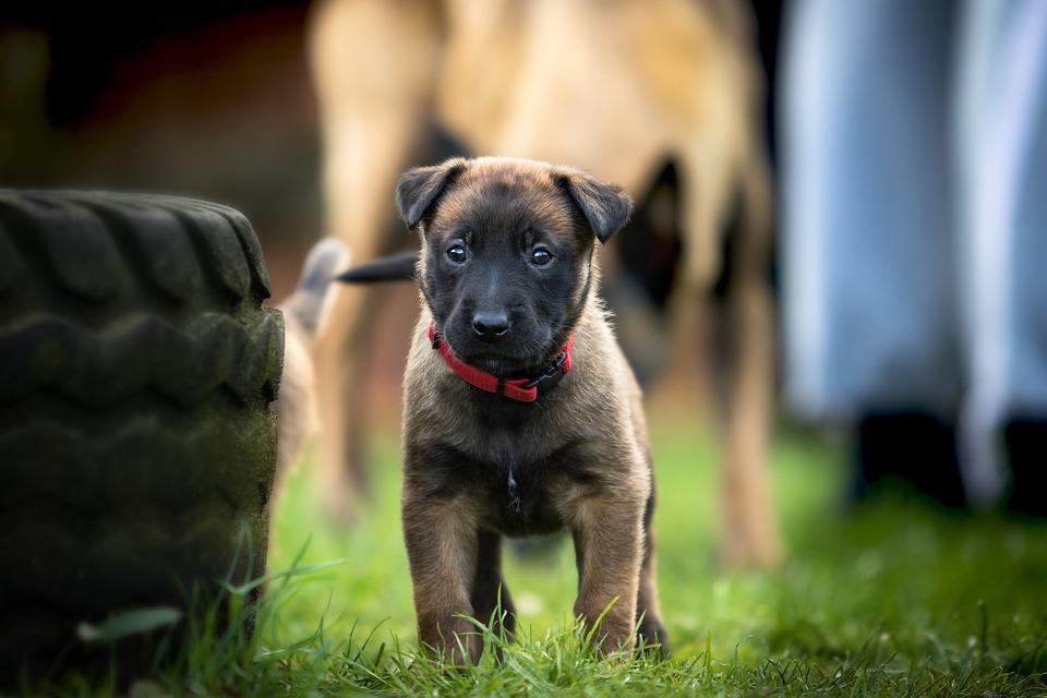Belgian Shepherd Dog, Puppy, Wildlife Photography
