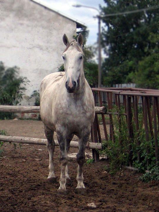 Horse, Mare, Stallion, Belko, White, Portrait
