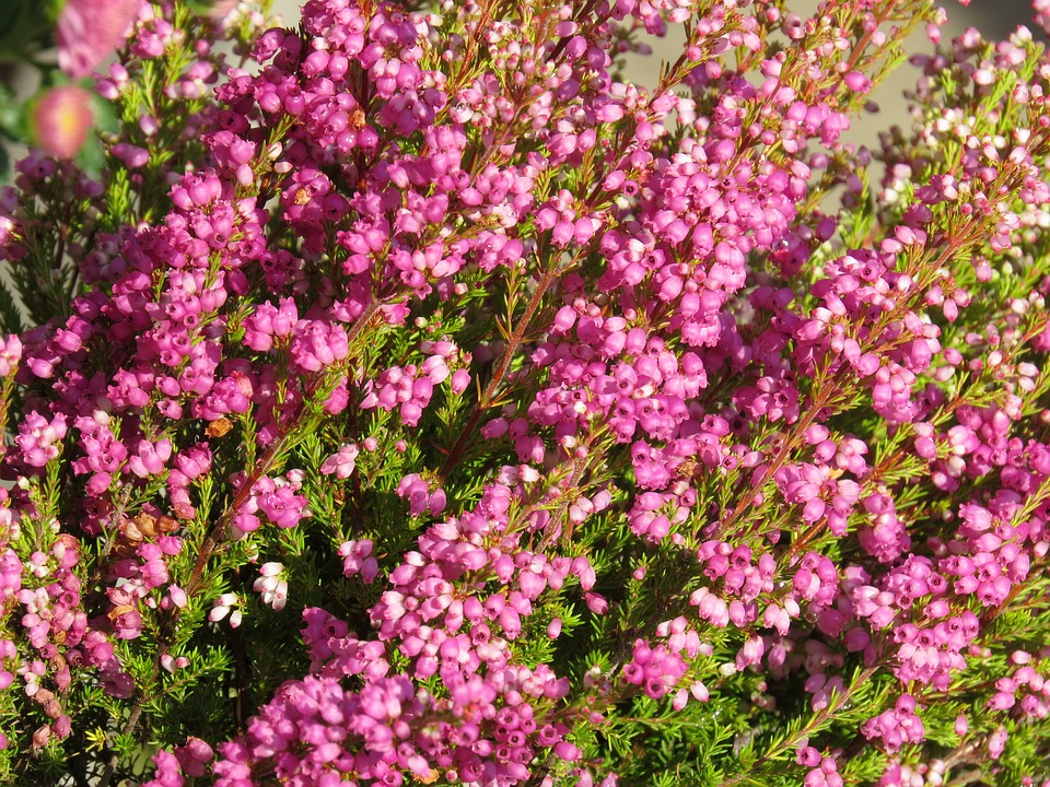 Heide, Pink, Bell Heather, Heather, Plant, Close Up