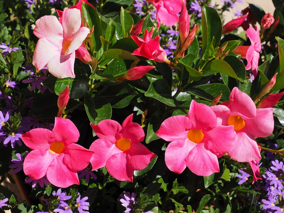 Free photo bell shaped funnel flower blossom mandevilla bloom max mandevilla bell shaped funnel flower blossom bloom mightylinksfo Choice Image