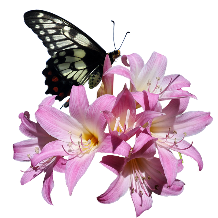 Butterfly, Belladonna, Lily, Flower, Insect, Garden