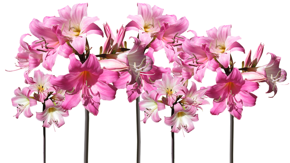 Belladonna Lilies Cut Out, Isolated, Flowers, Garden
