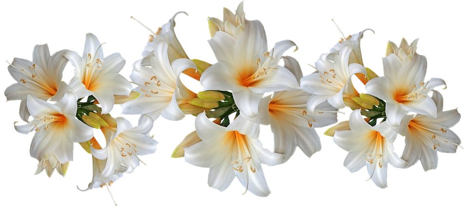 Lilies, White, Belladonna, Easter Lilies, Fragrant
