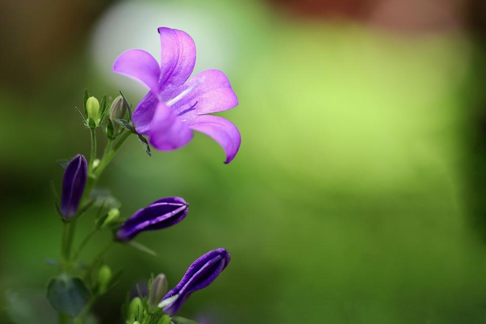 Bellflower, Campanula, Purple Flower, Petals