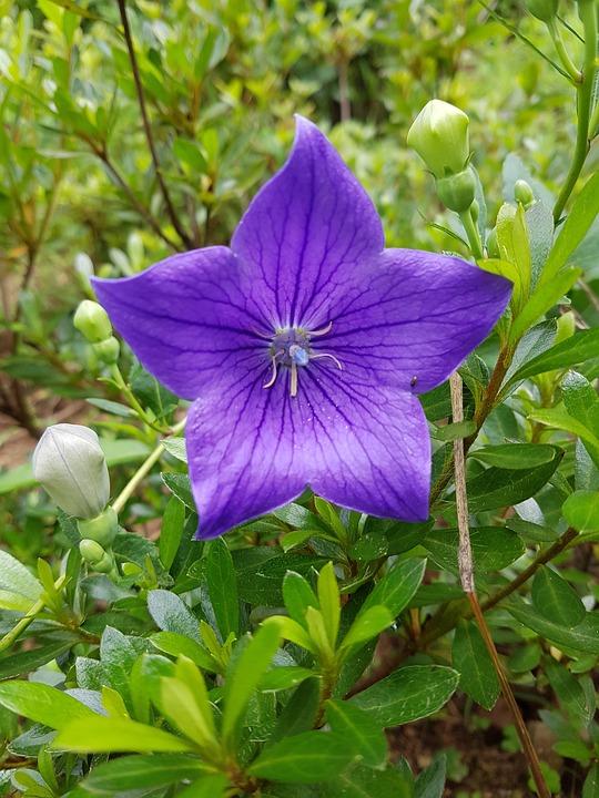 Bellflower, See Flowers, Bellflower Flower