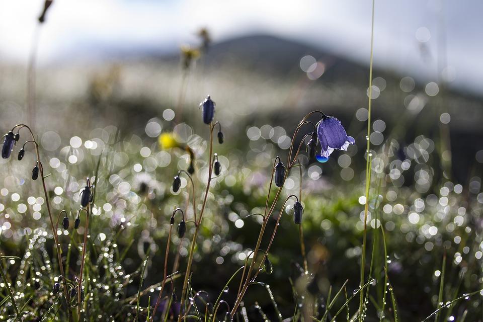 Flowers, Bellflower, Meadow, Summer, Nature, Dew