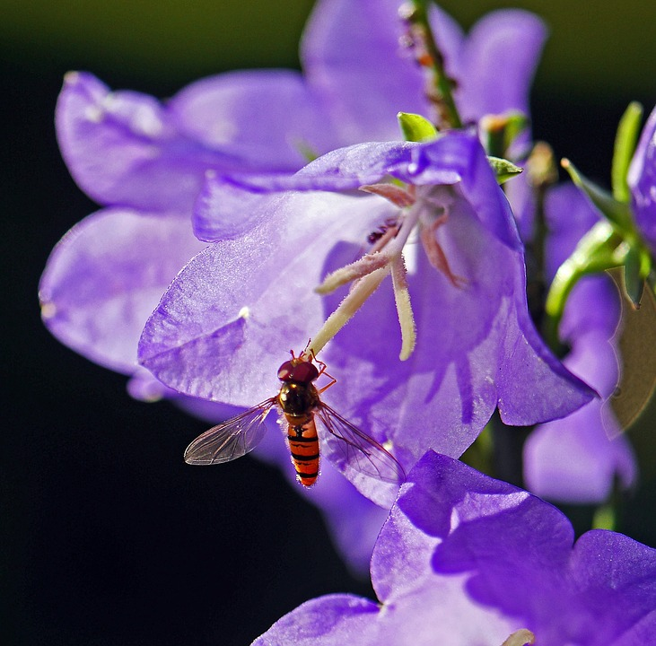 Hoverfly, Bellflower, Stamens, Wing, Transparent