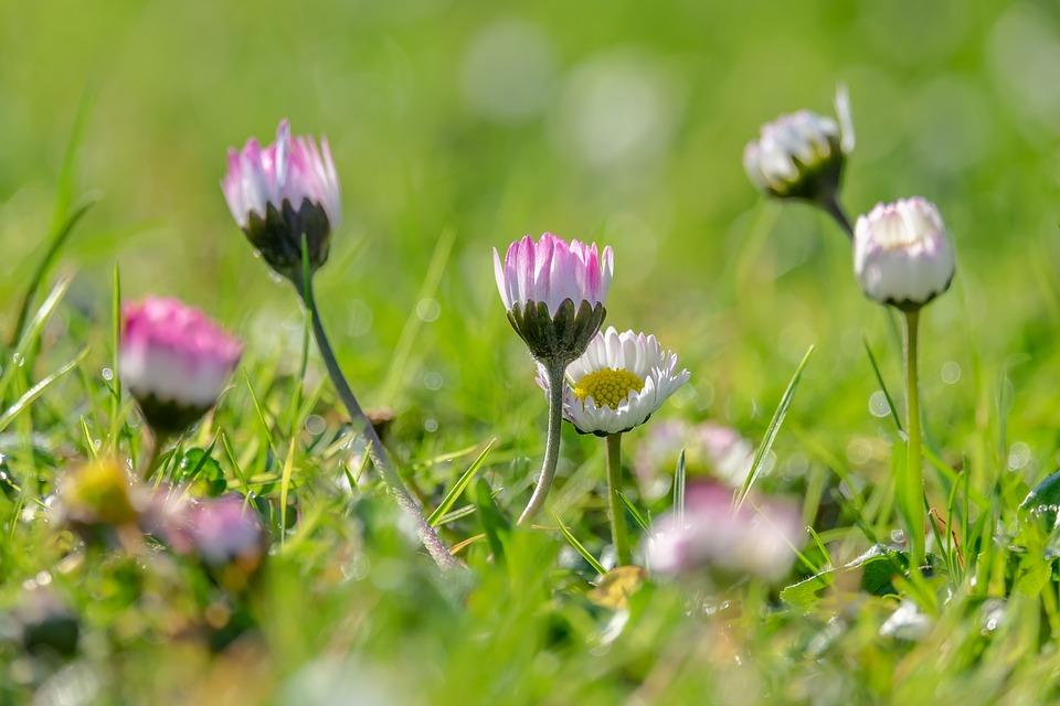 Daisy, Bellis, Tausendschön, Spring, Meadow, Flower