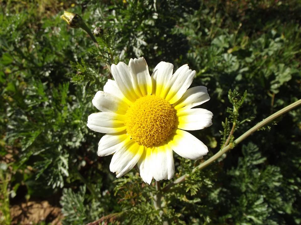 Daisy Flower, Margaret Wild, Bellis Sylvestris