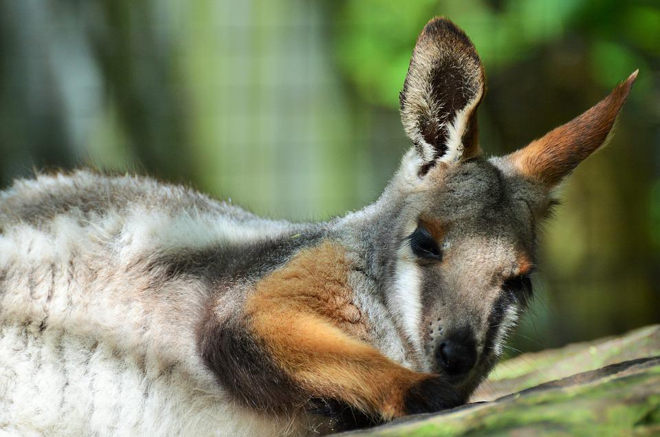 Benett Wallaby, Wallaby, Kangaroo, Small Kangaroo