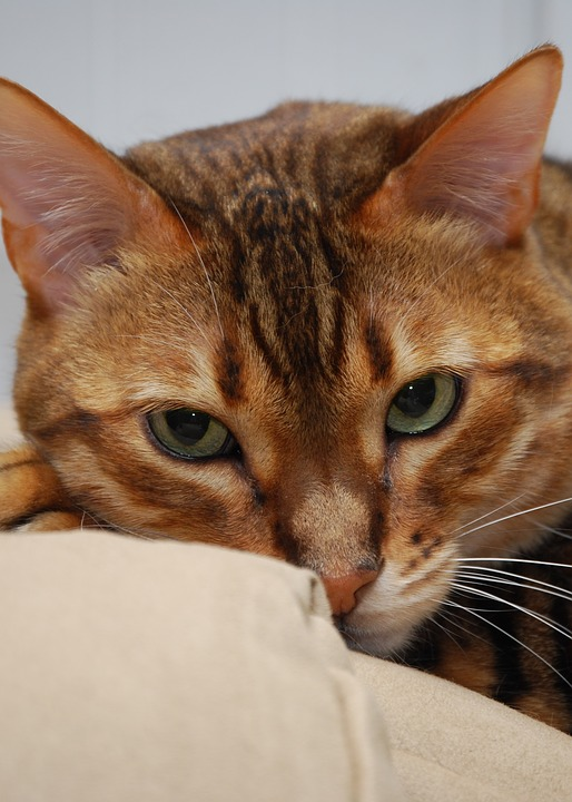 Cat, Bengal, Feline, Head, Purebred, Pet