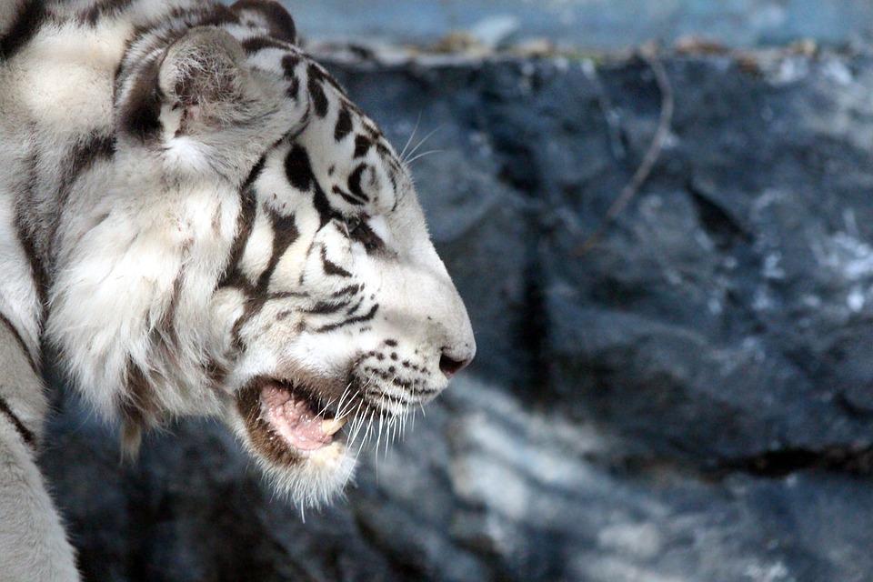 Bengal Tiger, White Tiger, Indian Tiger