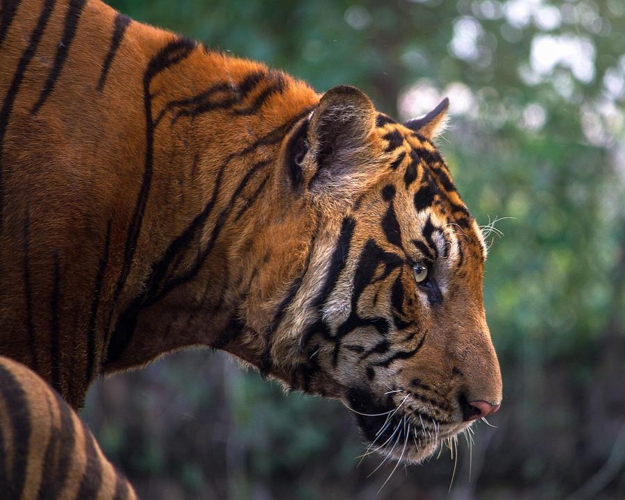 Tiger, Animals, Bengal, Cat, Feline, Head, Wildcat