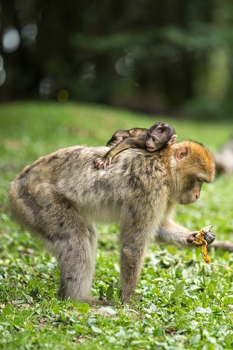 Ape, Berber Monkeys, Young Animal, Mammal, äffchen