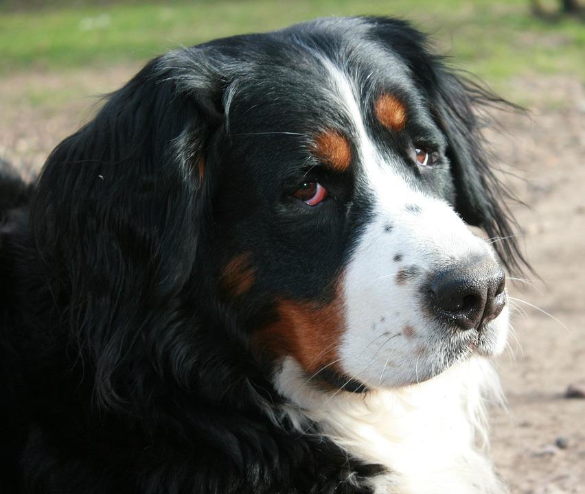 Berner Sennen, Dog, Portrait, Berner
