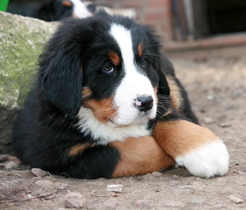 Puppy, Bernese Mountain Dog, Berner