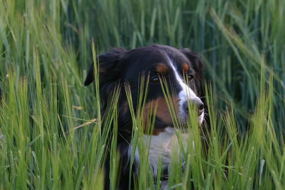 Bernese Dog Salsa, Dog, Meadow, Hundeportrait