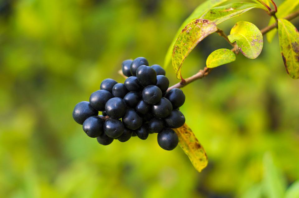 Berries, Buckthorn Brittle, Alder Buckthorn, Autumn
