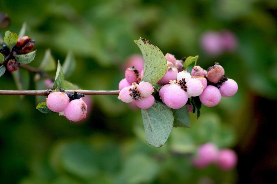Nature, Plant, Bush, Berry, Garden, Pink, Berries
