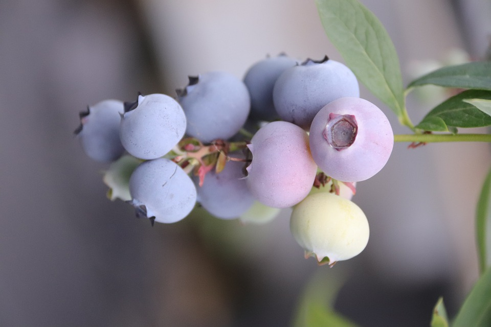 Blue Berries, Berries, Blueberries, Blueberry, Fruit