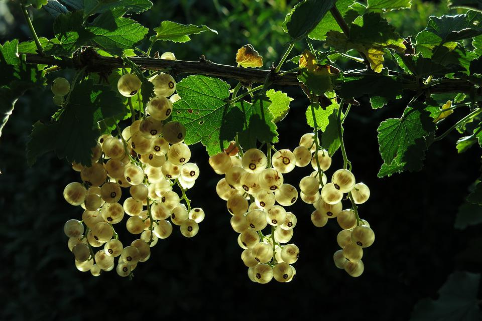 White Currant, Fruits, Bush, Berries, Currants