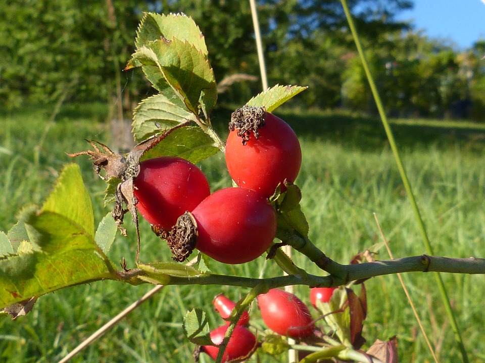 Rose Hip, Berries, Fruit, Plant, Nature, Tee