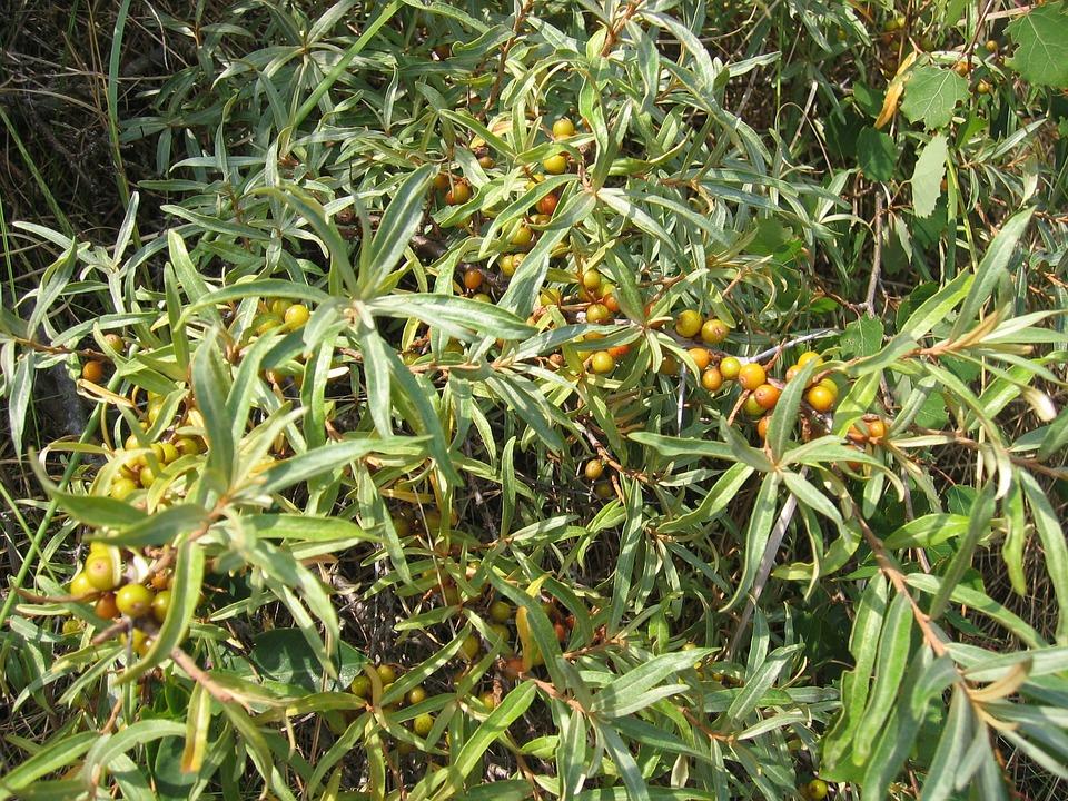 Sea Buckthorn, Bush, Berries, Fruits, Strauchartig