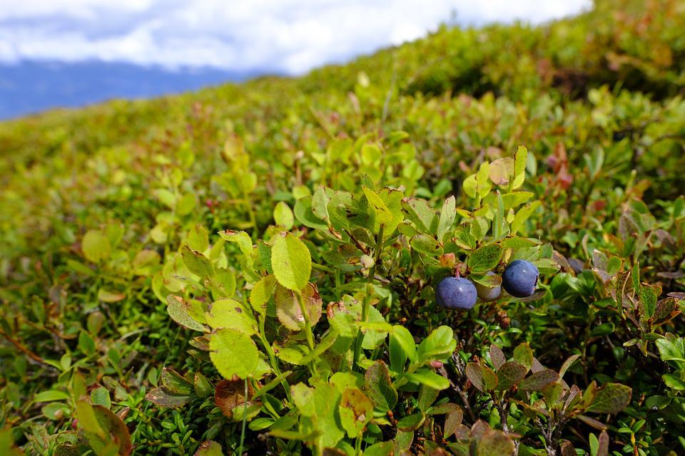 Blueberries, Berries, Wild Blueberry, Heidelbeerstrauch