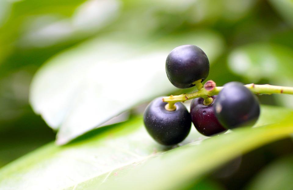 Laurels, Laurel Tree, Laurel Fruits, Berries, Blue