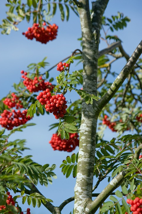 Berry, Berries, Red, Tree, Leaf, Leaves, Blue, Sky