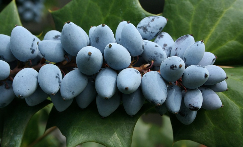 Ripe, Berries, Purple, Grape, Holly, Sour, Bitter