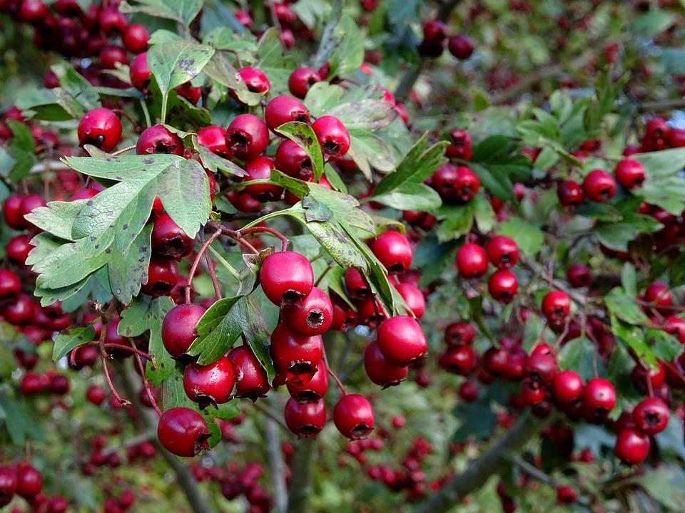 Berries, Red, Rowanberries, Autumn, Bird Seed