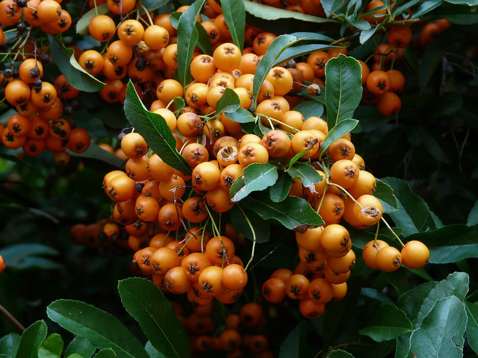 Firethorn, Fruits, Berries, Orange, Red, Bush