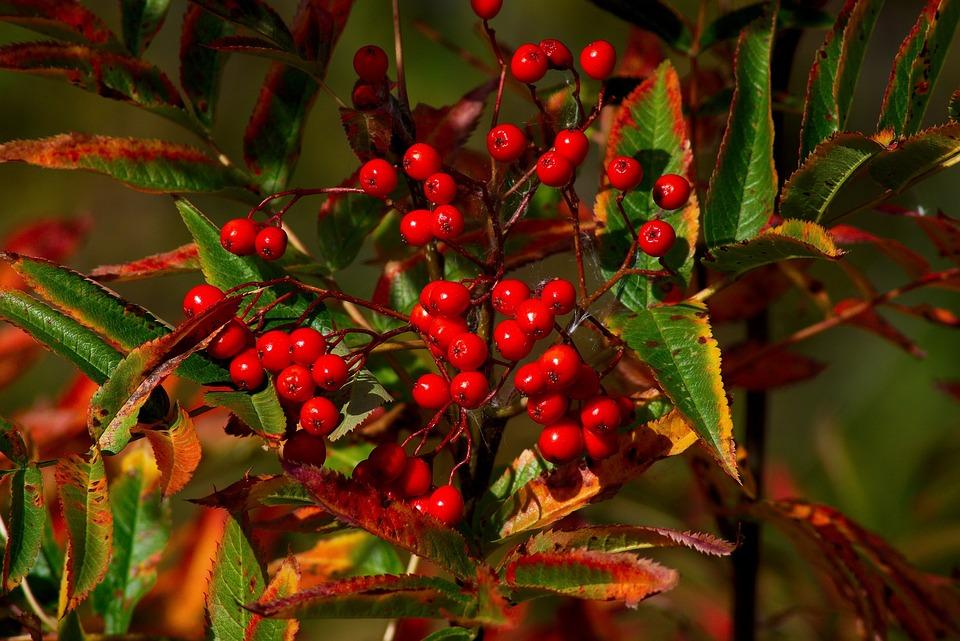 Wild Red Rowan Berries, Red, Berries, Grand, Teton